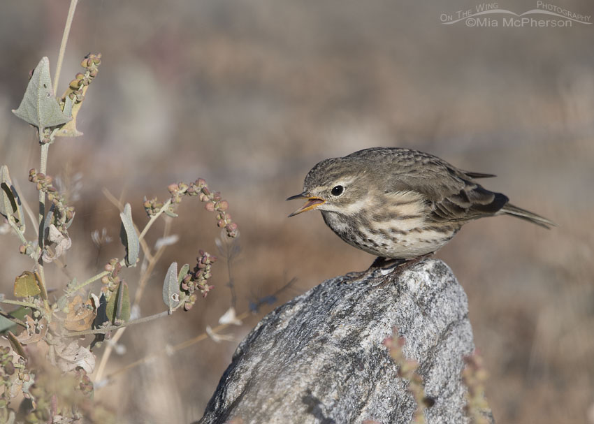 American Pipit displaying defensive behavior