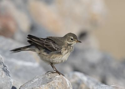 Fluffed up American Pipit