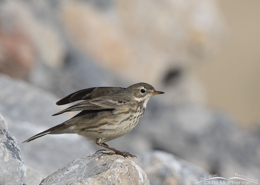 American Pipit lifting both wings
