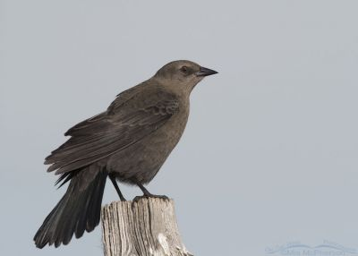 Female Brewer's Blackbird in Autumn