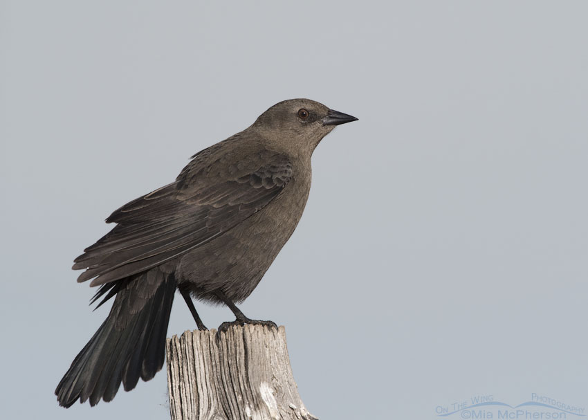 Female Brewer's Blackbird in Autumn