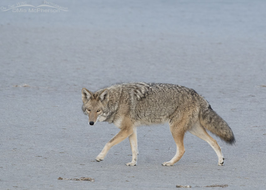Coyote walking on the flats of the Great Salt Lake