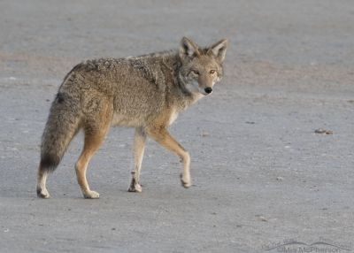 Coyote on the shore of the Great Salt Lake just after dawn