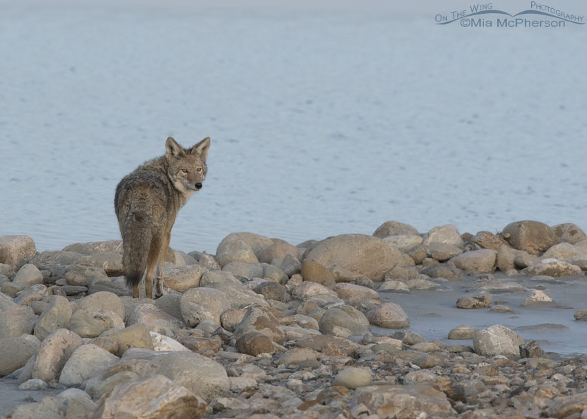 Coyote on rocks in the Great Salt Lake