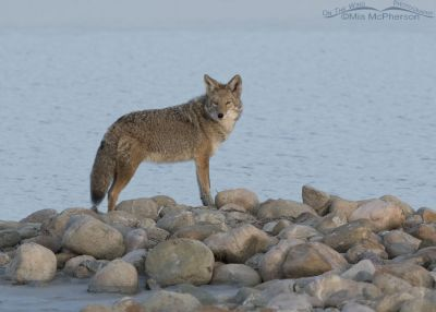 Coyote, the Great Salt Lake and a pile of rocks