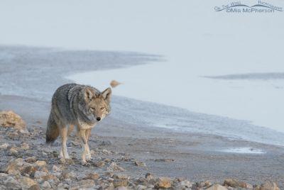 Coyote's stare