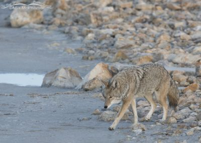 Coyote leaving the rocks next to the Great Salt Lake