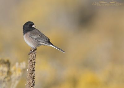 Dark-eyed Junco (Oregon) perched on Mullein