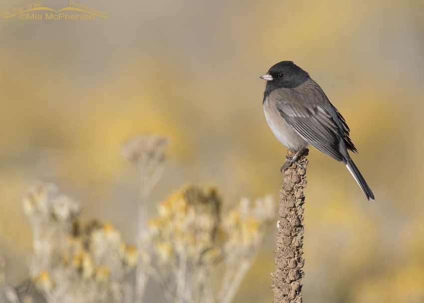 Dark-eyed Junco perched on Mullein in front of blooming Rabbitbrush
