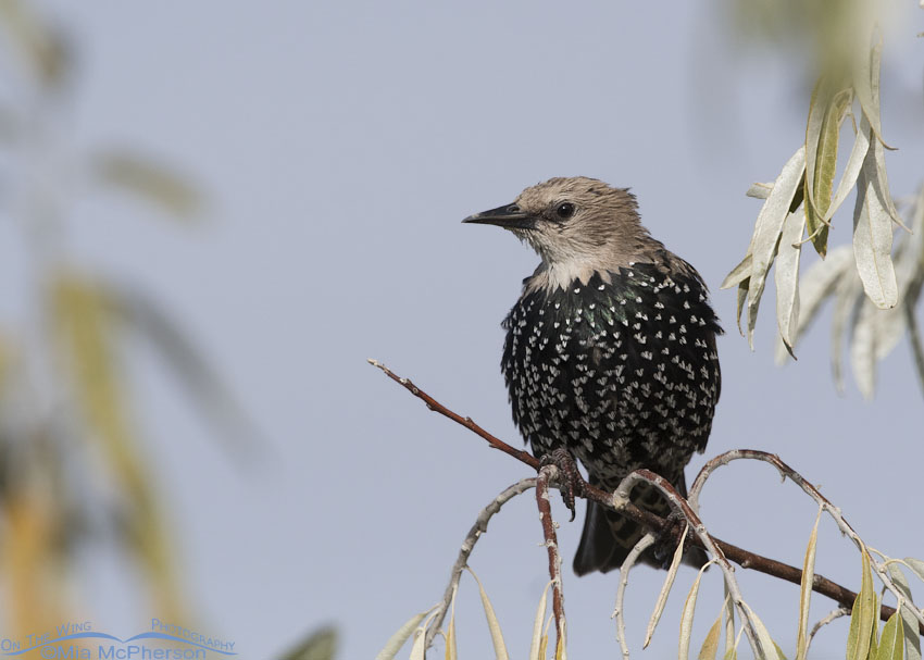 Molting juvenile European Starling