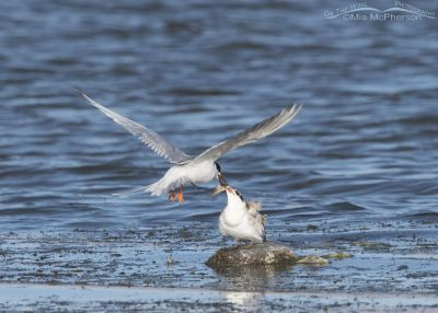 Forster's Tern feeding its young who is perched on a dead coot
