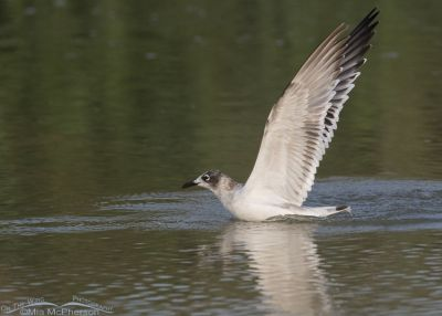 First Summer Franklin's Gull