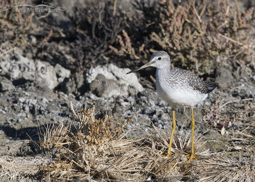 Greater Yellowlegs on the shore at Farmington Bay