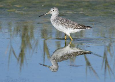 Greater Yellowlegs walking through shallow water at Farmington Bay