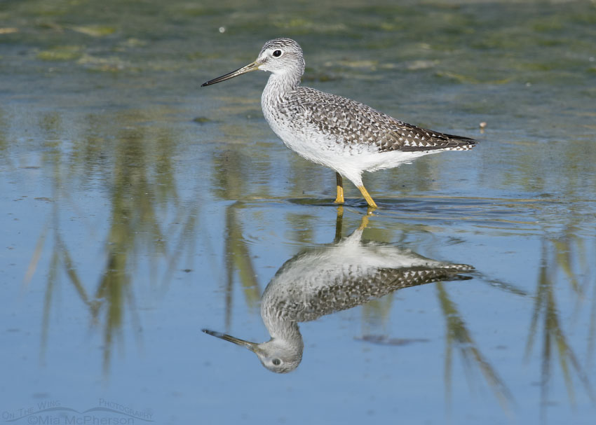 Greater Yellowlegs walking through shallow water at Farmington Bay