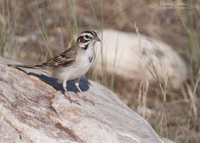 Lark Sparrow on Antelope Island during the breeding season