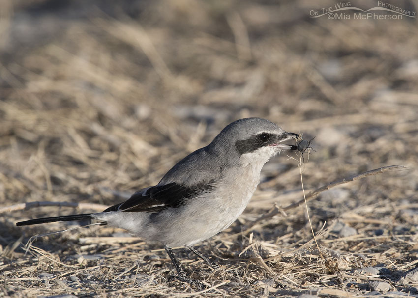 Loggerhead Shrike with Armored Stink Beetle prey