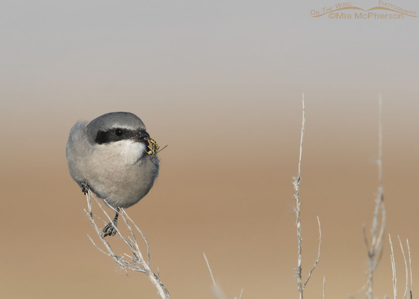 Loggerhead Shrike with Western Yellow Jacket prey