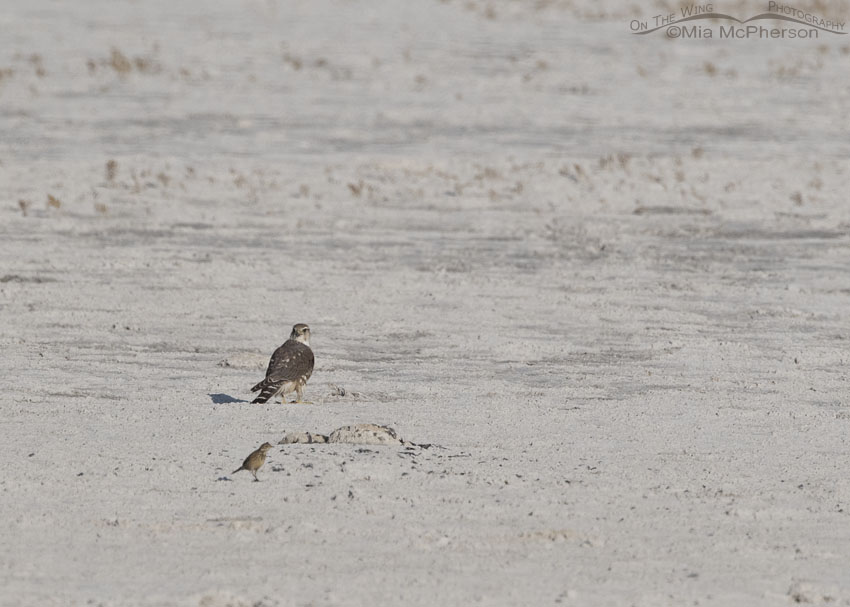 Merlin and pipit out on the flats