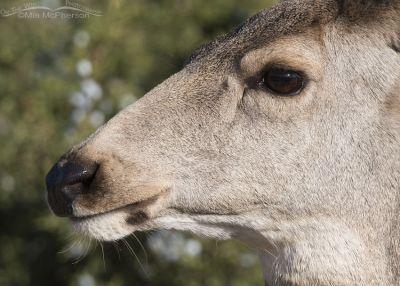 Mule Deer doe close up