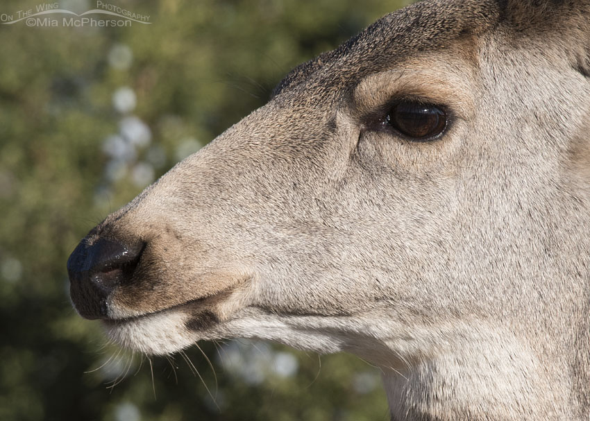 Mule Deer doe close up