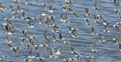 Red-necked Phalaropes in flight