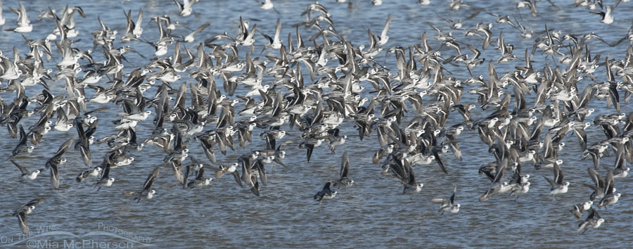 Red-necked Phalarope murmuration