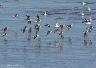 Red-necked Phalaropes flying over the Great Salt Lake