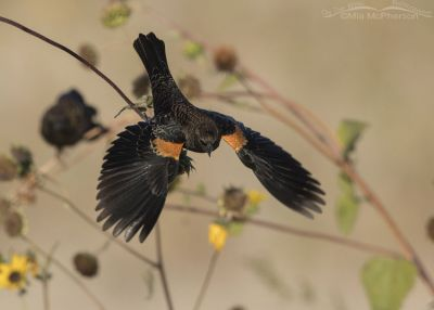 Juvenile male Red-winged Blackbird diving towards the ground