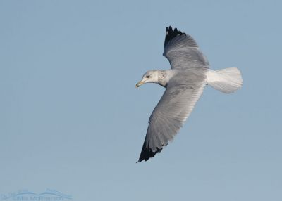 Dorsal view of a Ring-billed Gull