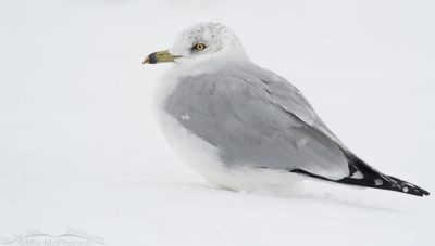 Winter Ring-billed Gull