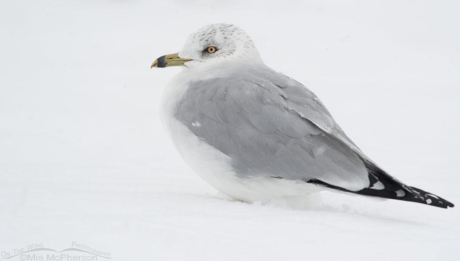 Winter Ring-billed Gull