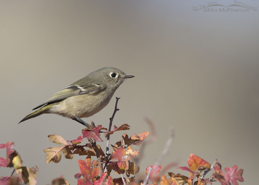 Autumn Oaks and a Ruby-crowned Kinglet