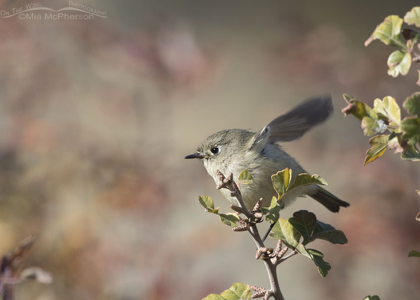 Ruby-crowned Kinglet about to lift off