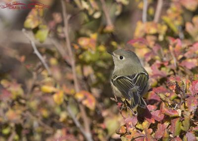 Male Ruby-crowned Kinglet in fall colors