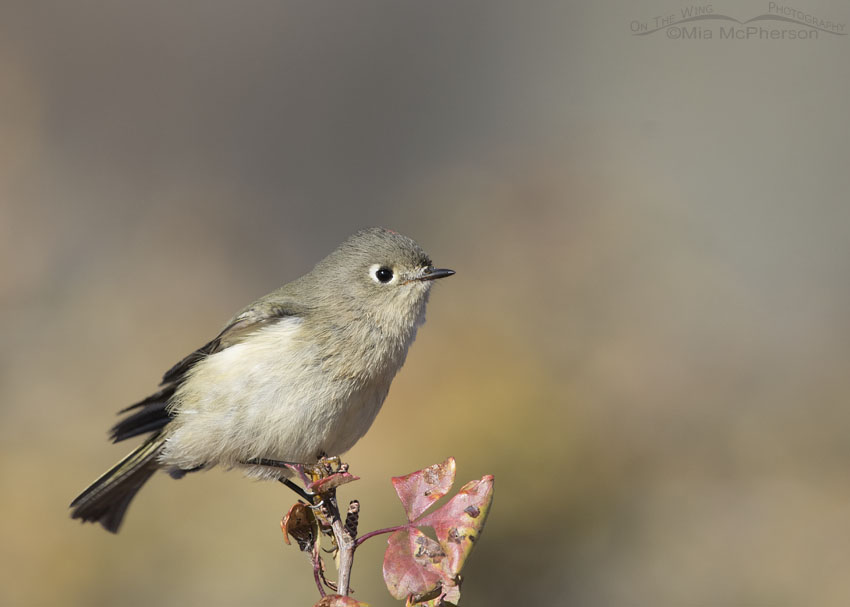 Ruby-crowned Kinglet Images