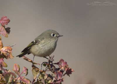 Ruby-crowned Kinglet and ruby-colored oak leaves