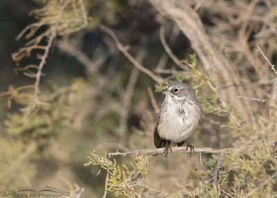 Sagebrush Sparrow perched in greasewood