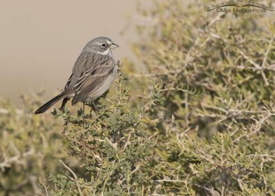 Perky Sagebrush Sparrow