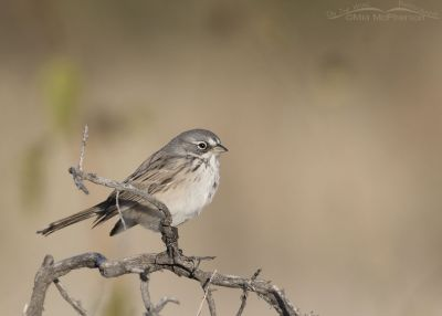 Adult Sagebrush Sparrow