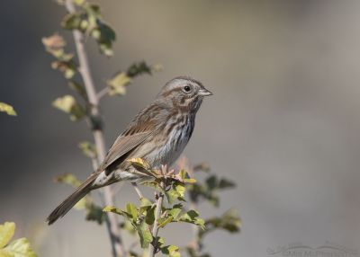 Song Sparrow in northern Utah