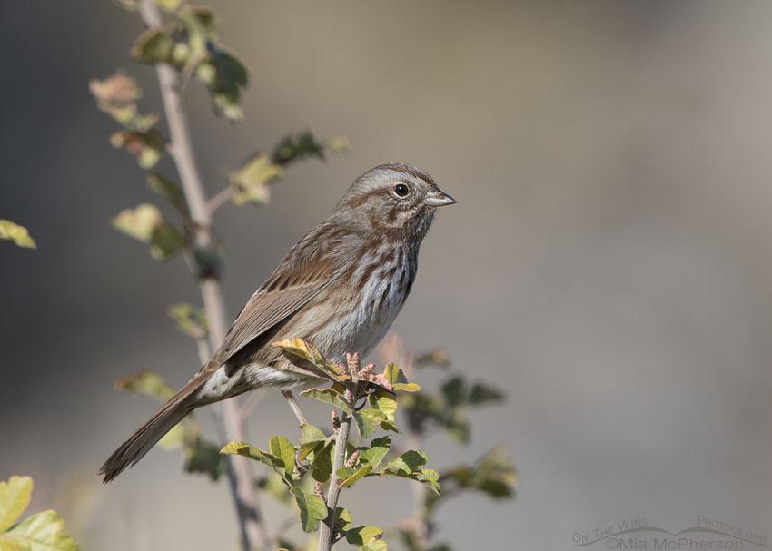 Song Sparrow in northern Utah