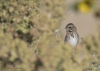 Song Sparrow peeking out of a greasewood