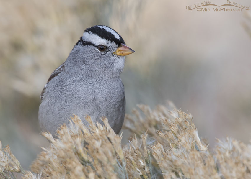 Portrait of an adult White-crowned Sparrow