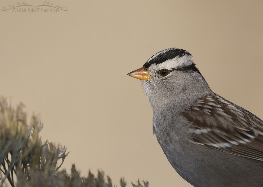 Sunny White-crowned Sparrow portrait
