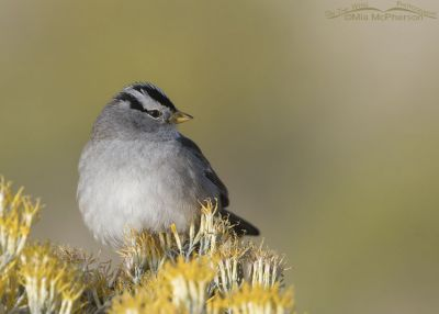 White-crowned Sparrow on Rabbitbrush giving me the eye