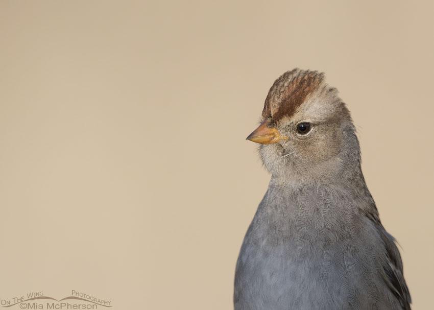Sunny juvenile White-crowned Sparrow portrait