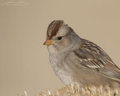 Juvenile White-crowned Sparrow portrait