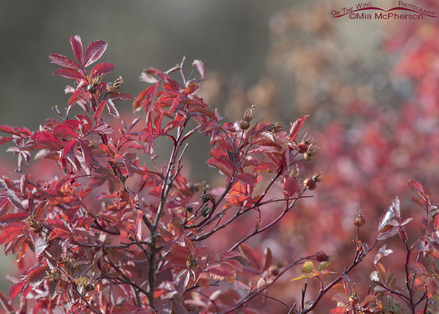 Autumn colors of a wild rose and rose hips