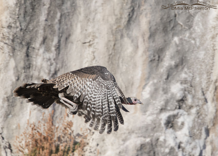 Flying Wild Turkey